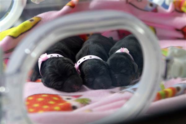 Three cloned puppies snuggle in an incubator at a Boyalife Group facility in Tianjin, China, in 2014