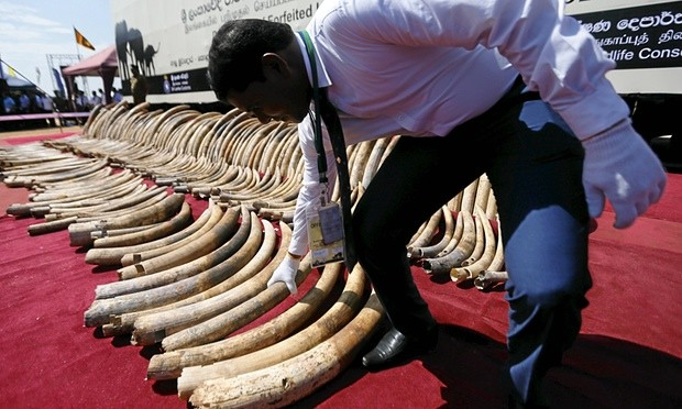 A customs officer displays African elephant tusks seized in Sri Lanka. Photograph: Dinuka Liyanawatte/Reuters