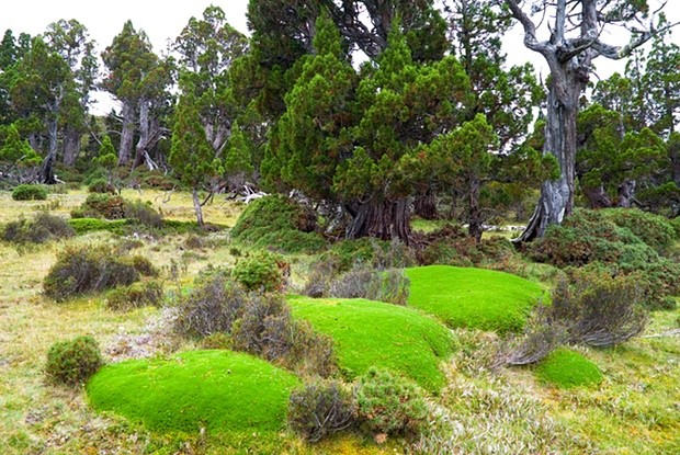Giant cushion plants in an ancient pencil pine forest in the Walls of Jerusalem national park, Tasmania. Stands of these pines, which live up to 1,200 years and exist only in the island state, have been burned in the past week. Photograph: Ashley Whitworth/Alamy