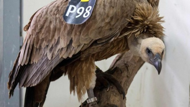 The vulture is now being treated at a wildlife clinic near Tel Aviv for minor injuries