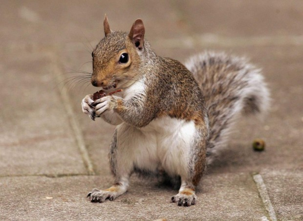 """Squirrel"" is apparently very difficult to pronounce - particularly for German-speakers Getty Images"