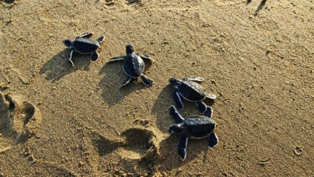 Daeng Abu cultivated Pulau Cengkeh so that generation after generation of turtles could breed there (Credit: Raquel Mogado/Alamy)