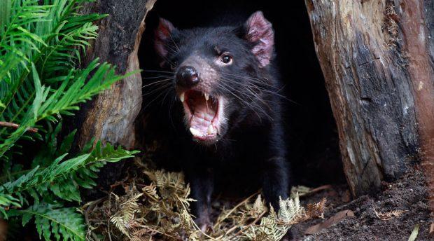 A Tasmanian Devil © Daniel Munoz / Reuters